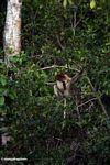 Bekantan di pohon berdaun (Kalimantan, Borneo (Borneo Indonesia))