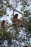 Adult male proboscis monkey with baby (Kalimantan, Borneo (Indonesian Borneo))