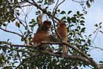 Adult male proboscis monkey with young monkey (Kalimantan, Borneo (Indonesian Borneo))