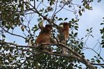 Adult male and baby proboscis monkeys in a canopy tree along the Seikonyer River (Kalimantan, Borneo (Indonesian Borneo))