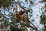 Dominant adult male proboscis monkey in a canopy tree along the Seikonyer River (Kalimantan, Borneo (Indonesian Borneo))