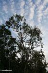 Kanopi pohon dengan monyet proboscis (Kalimantan, Borneo (Borneo Indonesia))