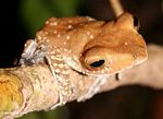 Tree frog in the tropical forest of Borneo (Kalimantan, Borneo (Indonesian Borneo))