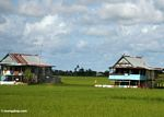 Sulawesi homes surrounded by rice fields (Sulawesi (Celebes))