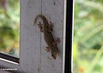 House gecko in Sulawesi (Sulawesi (Celebes))