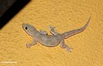 House gecko on yellow-orange background (Toraja Land (Torajaland), Sulawesi)