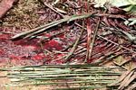 Blood on palm leaves following ritual slaughter of a pig (Toraja Land (Torajaland), Sulawesi)