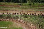 Ducks in rice field in Toraja land (Toraja Land (Torajaland), Sulawesi)