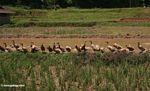 Ducks in rice paddy in Toraja land (Toraja Land (Torajaland), Sulawesi)