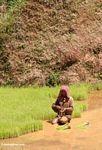 Woman planting rice in paddy (Toraja Land (Torajaland), Sulawesi)