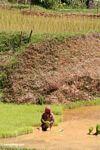 Woman planting rice (Toraja Land (Torajaland), Sulawesi)