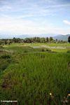 Rice paddies near Batutomonga village  (Toraja Land (Torajaland), Sulawesi)
