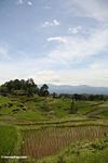 Rice paddies near Batutomonga village  (Toraja Land (Torajaland), Sulawesi)