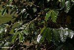 Coffee plant (Toraja Land (Torajaland), Sulawesi)