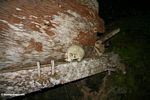 Skull alongside wodden coffin at Ketu Kese (Toraja Land (Torajaland), Sulawesi)