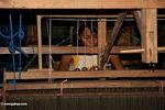 Silk worker (Sulawesi (Celebes))