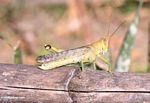 Grasshopper (Sulawesi (Celebes))