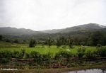 Rice fields in southern Sulawesi (Sulawesi (Celebes))