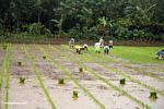 People planting rice (Sulawesi (Celebes))
