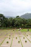 People planting rice in southern Sulawesi (Sulawesi (Celebes))
