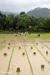 People planting rice in south Sulawesi (Sulawesi (Celebes))