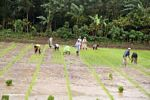 Rice workers in the mud (Sulawesi (Celebes))