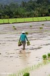 Woman trudging through mud while carrying bunches of rice plants for planting (Sulawesi (Celebes))