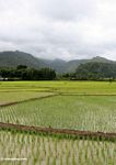 Emerald green rice fields of south Sulawesi (Sulawesi (Celebes))