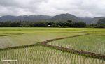 Lowland rice paddies of Sulawesi (Sulawesi (Celebes))