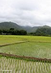Emerald green rice paddies of south Sulawesi (Sulawesi (Celebes))