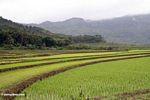 Emerald green terraced rice fields of south Sulawesi (Sulawesi (Celebes))
