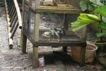 Cages chicks (Sulawesi (Celebes))