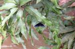 Black butterfly with blue-purple markings on its wings (Sulawesi (Celebes))
