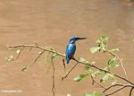 Blue-eared Kingfisher (Alcedo meninting) on branch above stream (Sulawesi (Celebes))