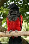 Black-and-red bird