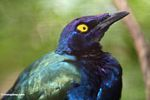 Purple Glossy Starling (Lamprotornis purpureus)