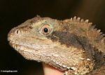 Water dragon (Physignatus lesurii)