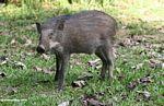 Juvenile wild boar in Malaysia