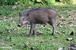 Juvenile boar (Sus scrofa)