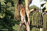 Long-tailed macaque (Macaca fascicularis) feeding on fruit of Caryota milis, or the