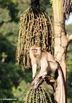 Long-tailed macaque feeding on fruit of the