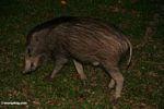Wild boar (Sus scrofa) in Taman Negara National Park in Malaysia