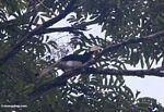 Malaysian Pied Hornbill (Anthracoceros albirostris)