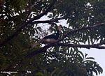 Malaysian Pied Hornbill (Anthracoceros albirostris)