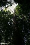 Emergent canopy tree as viewed from below