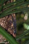 Green-eyed gecko (Gecko stentor)