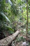 Tree fall in the Malaysian rainforest