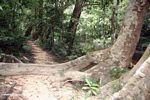 Buttress root of rainforest tree