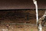 Monitor lizard prowling under a bungalow