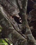 Orange-backed Woodpecker (Reinwardtipicus validus) in the forest canopy